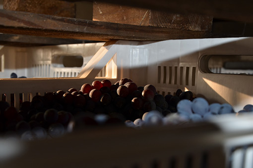valpolicella-grapes-drying-for-amarone